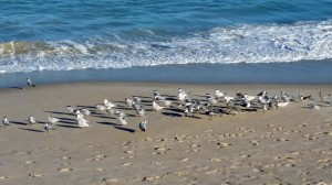 Love watch the birds on Vero Beach.  You need to watch out.  They swoop down and steal whatever you are eating.  Very smart!