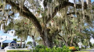 Christmas decorations in Vero.  They hang ornaments from the Spanish moss.